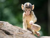 Infant Macaque Stock Photography