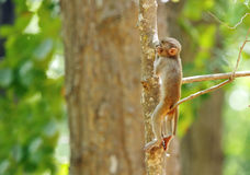 Infant Macaque sitting on a tree branch Stock Photos