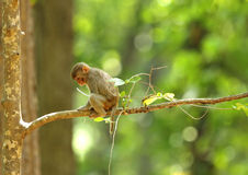 Infant Macaque on a tree branch Royalty Free Stock Photo