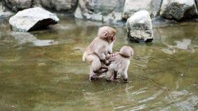 Free Infant Monkey Riding Stock Photos - 184570983