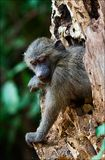 Infant Olive Baboon on the tree. Stock Image
