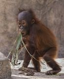 Infant Orangutan: Junior Experimenting with his Food Groups Royalty Free Stock Photo