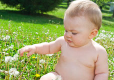 Infant playing with dandelions stock images