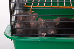 Infant rats in a cage Stock Photo