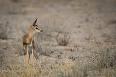 Infant Springbuck looking for his mom Stock Photos