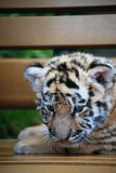 Infant tiger. Cute baby tiger on the chair Stock Photos