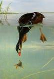 Infante de marina del pato imagen de archivo