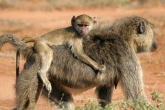 Infante do babuíno fotografia de stock royalty free