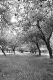 Infared Ansicht eines Apfelobstgartens und -bäume Lizenzfreies Stockfoto