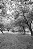 Infared view of an apple orchard and trees Royalty Free Stock Photo