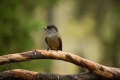 Infaustus Perisoreus Άγρια φύση της Φινλανδίας ελεύθερη φύση Από τη ζωή πουλιών στοκ φωτογραφία με δικαίωμα ελεύθερης χρήσης