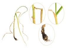 Infecção do alho pela podridão branca, cepivorum do Sclerotium imagens de stock