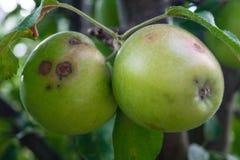 Infección por hongos de manzanas imágenes de archivo libres de regalías