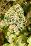 Infected leaf with holes eaten by pests Stock Photo