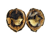 Infected walnut. Close-up of infected walnut halves on white background Stock Images