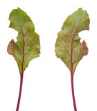 Infection of beetroot leaf by Cercospora beticola. Isolated royalty free stock image
