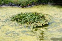 Infection de fleur d'algues bleu-vert de Cyanobacteria s'élevant en rivière de lac d'étang Image libre de droits