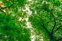 Infectious tree canopy. An amazing shot from the floor looking up at whatever break in the canopy there is Stock Images