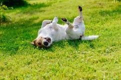 Infekujący lub alergiczny psi chrobot i świerzbieć swój plecy na grou obraz stock