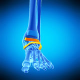 The inferior extensor retinaculum Royalty Free Stock Photo
