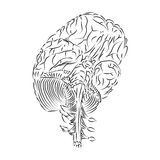 Inferior View of the Brain Royalty Free Stock Photos