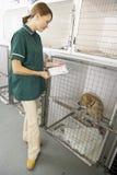 Infermiera di Vetinary che controlla gli animali ammalati in penne Fotografie Stock Libere da Diritti
