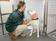Infermiera di Vetinary che controlla gli animali ammalati in penne immagine stock