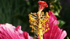 Infestação de uma flor do hibiscus Fotos de Stock Royalty Free