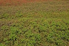 Infestación amplia de la mala hierba de la licencia en área de la producción agrícola fotografía de archivo