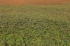 Infestación amplia de la mala hierba de la licencia en área de la producción agrícola imágenes de archivo libres de regalías