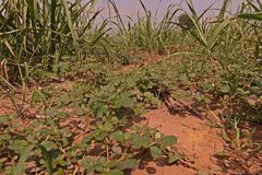 Infestación amplia de la mala hierba de la licencia en campo de la caña de azúcar imagenes de archivo