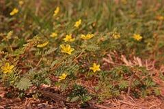 Infestación amplia de la mala hierba de la licencia en el área de la producción agrícola, vid de la puntura fotos de archivo