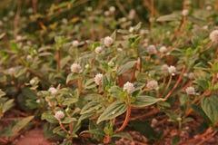 Infestación amplia perenne herbácea de la mala hierba de la licencia en área de la agricultura fotos de archivo libres de regalías