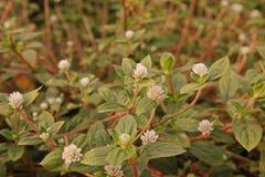 Infestación amplia perenne herbácea de la mala hierba de la licencia en área de la agricultura imagen de archivo