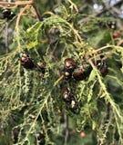 Infestación de Japonica del escarabajo japonés o del Popillia imágenes de archivo libres de regalías