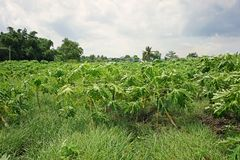 Infestación de la mala hierba adentro en campo de la producción de la papaya foto de archivo