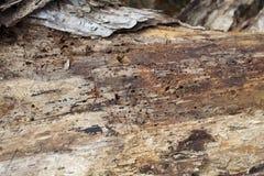 Infestación de la termita en madera foto de archivo libre de regalías