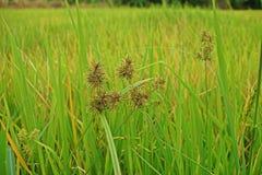 Infestación de las juncias al campo del arroz fotos de archivo libres de regalías