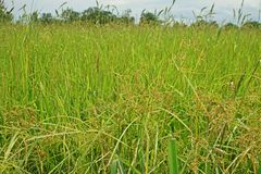 Infestación de las juncias al campo del arroz fotografía de archivo