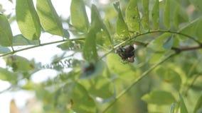 Infestación del insecto de Popilia Japonica almacen de video