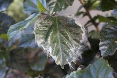 Infestación del Whitefly en hibisco Imagenes de archivo