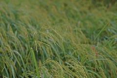 Infestación llena de yerbajos del arroz al campo de la producción del arroz fotos de archivo