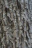 Infestazione del lepidottero zingaresco Immagini Stock Libere da Diritti