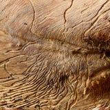 Infestazione dell'albero di gomma Fotografia Stock Libera da Diritti