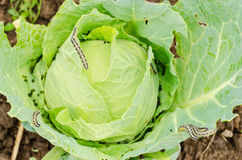 Infested cabbage Stock Photography