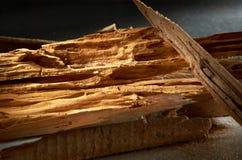 infested termite Arkivbild