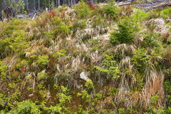 Infested trees, the forested, hilly landscape near Lake Laka, Šumava, Czech Republic Royalty Free Stock Photography