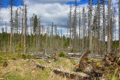 Infested trees, the forested, hilly landscape near Lake Laka, Šumava, Czech Republic Stock Photo