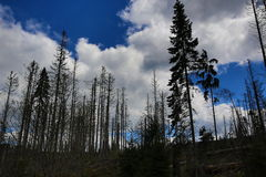 Infested trees, hilly landscape, Lake Laka, Šumava, Czech Republic Royalty Free Stock Photos