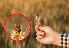 Infezione di grano con lo scarabeo di austriaca di Anisoplia immagini stock libere da diritti